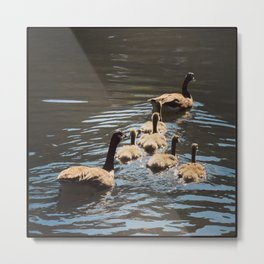 Canada Geese with Goslings - Square Photo Metal Print