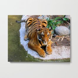 Pool Side Tiger Metal Print