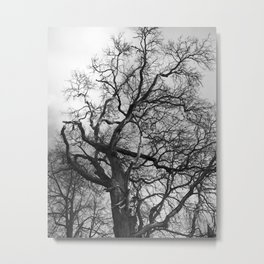Old oak tree. Moscow district. Metal Print