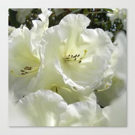 white rhododendron III Canvas Print