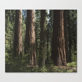 Sunlit California Redwood Forests Canvas Print