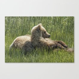 Settling Down Again - Bear Cubs, No. 6 Canvas Print