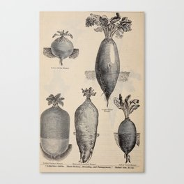 Vintage Illustration of Various Turnips (1897) Canvas Print