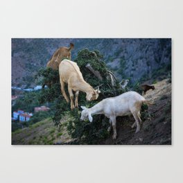 Three Goats in a tree Canvas Print