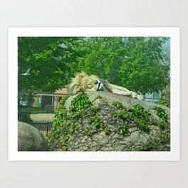 sleepy old lion Art Print