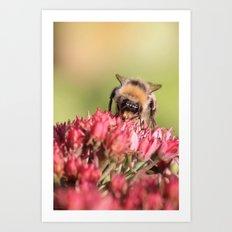 Bee on sedum Art Print
