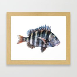 Sheepshead Framed Art Print
