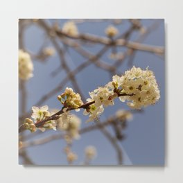 Blooming tree branch almond blossom Metal Print
