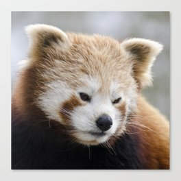 Red Panda 1 Canvas Print