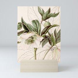 Helleborus orientalis Mini Art Print