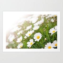 White chamomiles herb flowering plant Art Print