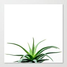 Succulents - Haworthia attenuata - Plant Lover - Botanic Specimens delivering a fresh perspective Canvas Print