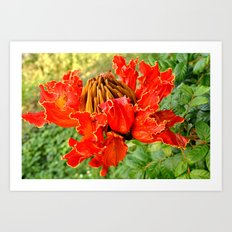 The African Tulip Tree Art Print