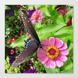 Butterfly on Pink Zinnia Canvas Print