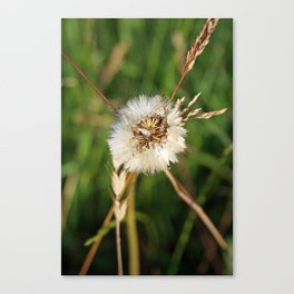 beauty faded thistle Canvas Print