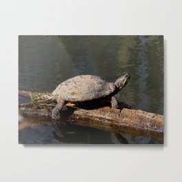 Turtle sunbather Metal Print