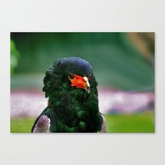 Bateleaur Eagle Canvas Print