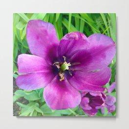 467 - Open Purple Tulip Metal Print