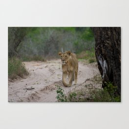 Female Lion at Tembe Elephant Park Canvas Print