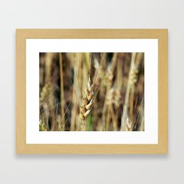 Wheat field texture of hay Framed Art Print