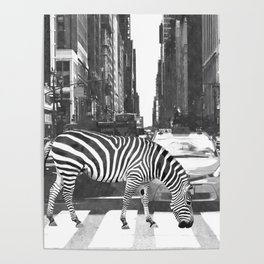Black and White Zebra in NYC Poster