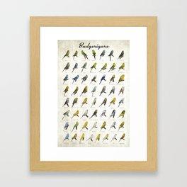 Budgerigar Colors Poster Gerahmter Kunstdruck