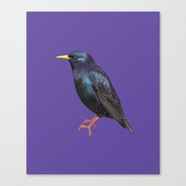 Steve the Starling Canvas Print