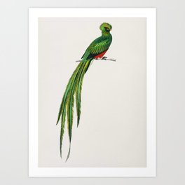 Pavonine quetzal (Pharomachrus pavoninus) illustrated by Charles Dessalines D' Orbigny (1806-1876) Art Print