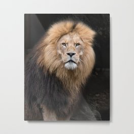 Closeup Portrait of a Male Lion Metal Print