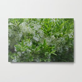 White Fringe Tree Metal Print