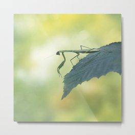 Female European Mantis or Praying Mantis, Mantis religiosa, on a leaf Metal Print
