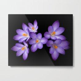 Purple Crocus Metal Print