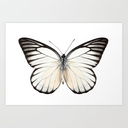 Prioneris philonome butterfly Art Print