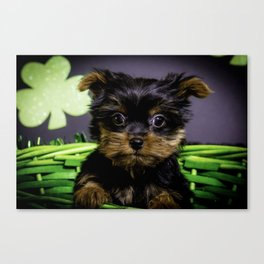 Closeup of a Tiny Yorkshire Terrier Puppy Sitting in a Green St. Patrick's Day Basket Canvas Print