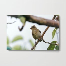 Young Chaffinch Songbird Bird Perching on a Branch - Wales, UK Metal Print