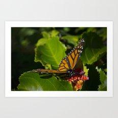 Monarch having lunch Art Print