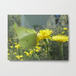 Brimstone butterfly and yellow flower 2 Metal Print