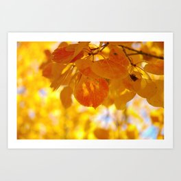 Sunlight through autumn aspen leaves Art Print