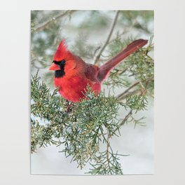 Cocky Cardinal Poster