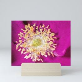 Beach Rose (Rosa rugosa) close up Mini Art Print