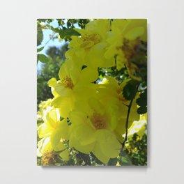 yellow rosebush I Metal Print