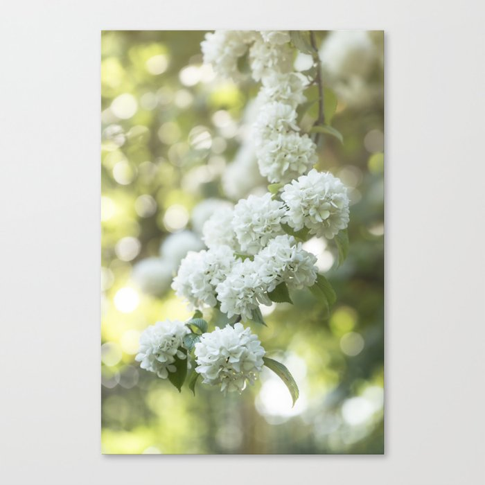 White Hydrangea at beautiful backlight- Flowers Floral Canvas Print