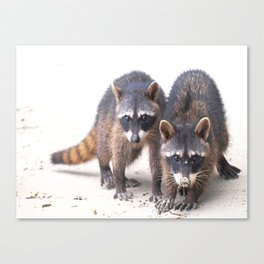 Cute wild Racoons in Costa Rica Canvas Print
