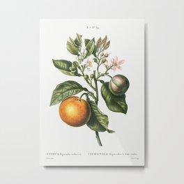 Bitter orange (Citrus Bigaradia violacea) from Traité des Arbres et Arbustes que l'on cultive en Fra Metal Print