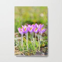 Crocus bunch vertical close up in spring season Metal Print