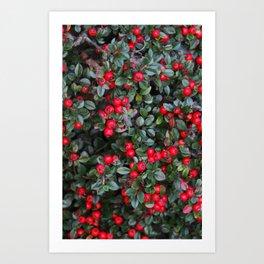 Textura: Cotoneaster Red Berries Art Print