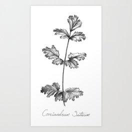 Cilantro Botanical Illustration Art Print