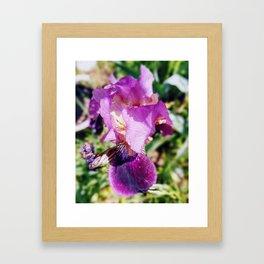 Purple Striped Bearded Iris Framed Art Print