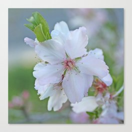 Almond tree flower blooming Canvas Print