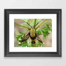 snowberry clearwing moth 2017 III Framed Art Print